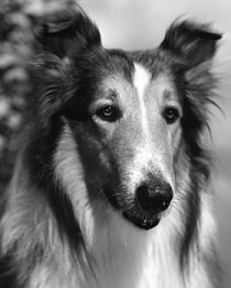 Photograph of Pal as Lassie, 1943.