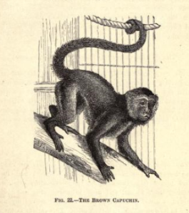 Illustration of Brown Capuchin Monkey from 'Notes on Pet Monkeys and How to Manage Them,' 1888.