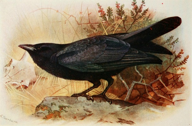 A Raven by T. A. Coward, 1919. (Image from The Birds of the British Isles.)