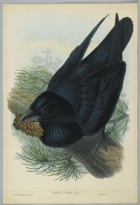 The Raven, Corvus Corax, by John Gould, 19th century.