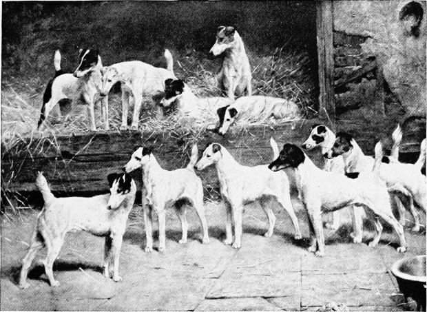 Fox Terriers in their Kennels from