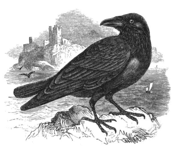 The Raven by Philip Henry Gosse, 1849. (Image via The Natural History of Birds.)