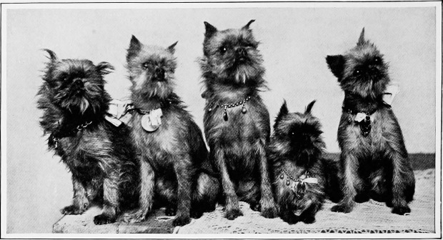 Group of Cropped Griffins from The New Book of the Dog, 1907.