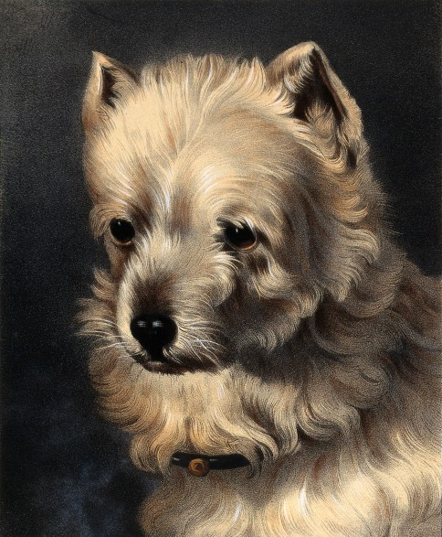 The Head of a Griffon Dog, coloured lithograph by J. B. A. Lafosse after W. Barraud, mid-19th century.(Image via Wellcome Library.