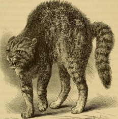 Hissing Cat from Darwin's Expression of Emotions in Man and Animals, 1872.