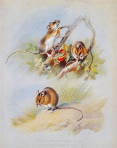 Harvest, Wood Mouse by A. Thorburn, 1920.