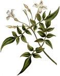 Jasminum officinale, Curtis's Botanical Magazine, 1787.
