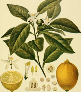 Lemon illustration from Birds and Nature, 1899.