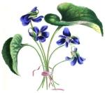 Viola odorata by L. A. Meredith, 1836.