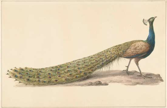 Blue Peacock by Pieter Pietersz. Barbiers, (1759 - 1842).