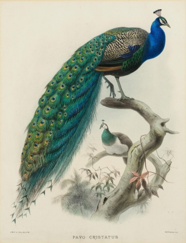 Pavo Cristatus by J. Smit after Joseph Wolf, 1872.