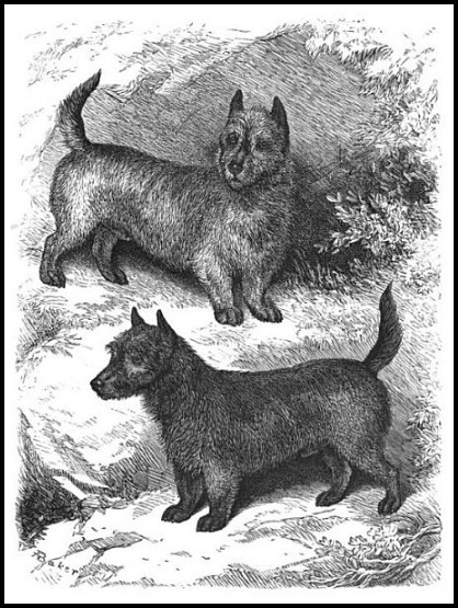 The Scotch Terrier, 1882.(Dogs of the British Islands)