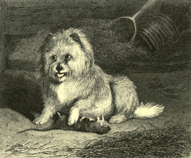 Vixen, a Thoroughbred Scotch Terrier, by Edwin Landseer, engraved by Thomas Landseer, 1853.