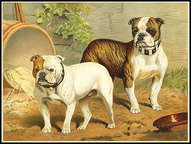 Bulldogs, The Book of the Dog by Vero Shaw, 1881.