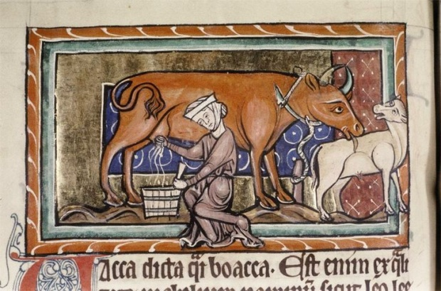 Servant woman in wimple milking cow,